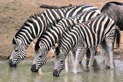 Zebra di Burchells Immagine Stock