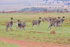 Zebra di Burchells Fotografie Stock