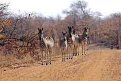 Zebra di Burchells Fotografia Stock