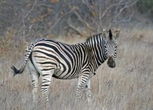 Zebra di Burchells Fotografia Stock Libera da Diritti