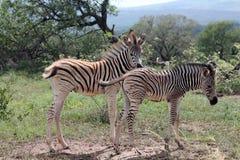Zebra di Burchells (burchellii della quagga di equus) Fotografie Stock