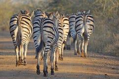 Zebra di Burchells (burchellii della quagga di equus) Fotografia Stock