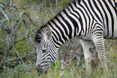 Zebra di Kruger Fotografia Stock