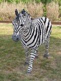 Zebra di Lego Fotografie Stock Libere da Diritti