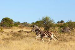 Zebra di montagna Fotografia Stock