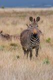 Zebra di montagna Fotografia Stock Libera da Diritti