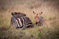 Zebra di montagna Immagini Stock Libere da Diritti