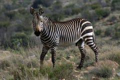 Zebra di montagna del capo Immagini Stock