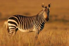 Zebra di montagna del capo Fotografie Stock Libere da Diritti