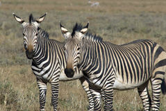 Zebra di montagna di Hartamnn Fotografie Stock Libere da Diritti