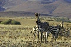 Zebra di Palmwag Fotografie Stock Libere da Diritti