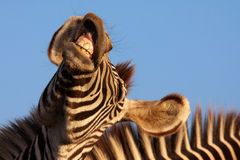 Zebra di risata Fotografie Stock