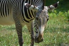 Zebra di safari che pasce sull'erba in un campo Immagini Stock Libere da Diritti
