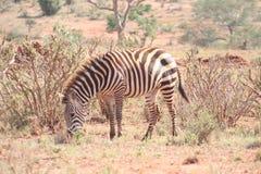 Zebra die in de wildernis wordt bevlekt stock afbeeldingen