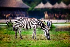 Zebra die gras in de dierentuin eten stock afbeeldingen