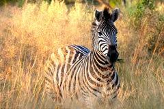 Zebra die Gras eet Stock Fotografie