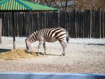 Zebra die hooi in een loods eten bij de dierentuin Stock Afbeelding