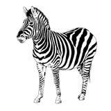 Zebra die met inkt en hand-gekleurde pop-artvector wordt getrokken Royalty-vrije Stock Afbeelding