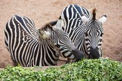 Zebra die ochtendglorie eten Royalty-vrije Stock Foto's