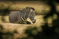 Zebra die op grond in savanne liggen stock foto
