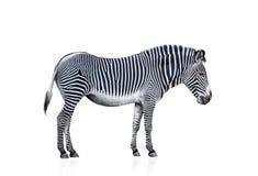 Zebra die op wit wordt geïsoleerd0 Stock Afbeeldingen