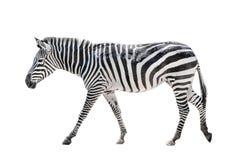 Zebra die op wit wordt geïsoleerd0 Stock Foto