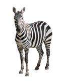 Zebra die op wit wordt geïsoleerde Stock Foto