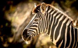 Zebra die zonnen in het Nationale Park van Kruger Stock Afbeeldingen