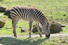 Zebra in dierentuin Stock Afbeeldingen