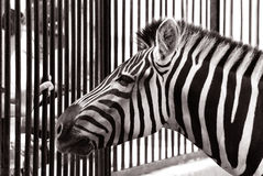Zebra in dierentuin Stock Foto