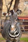 Zebra in dierentuin Royalty-vrije Stock Foto's