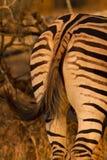 Zebra dietro la coda immagine stock libera da diritti
