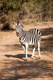 Zebra on a dirt road Royalty Free Stock Image
