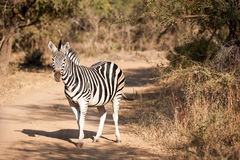 Zebra on a dirt road Stock Images