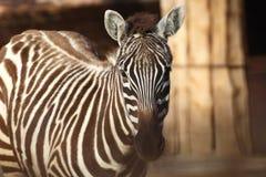 Zebra disambiguation. Royalty Free Stock Photo