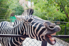 Zebra divertente Fotografie Stock Libere da Diritti