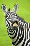 Zebra divertente Immagini Stock