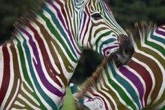 Zebra do arco-íris Foto de Stock Royalty Free