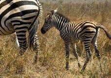 Zebra do bebê Fotos de Stock