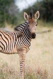 Zebra do bebê Foto de Stock Royalty Free