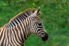 Zebra do bebê Fotografia de Stock Royalty Free