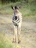 Zebra do bebê Fotos de Stock Royalty Free