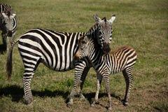 Zebra do bebê e sua mãe Fotografia de Stock Royalty Free