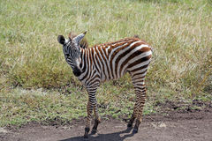 Zebra do bebê em Nairobi, Kenya Fotografia de Stock