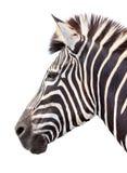 Zebra do burchell do jardim zoológico única Foto de Stock