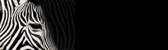 Zebra do detalhe no fundo preto fotos de stock royalty free