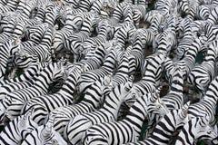 Zebra do fundo Fotos de Stock Royalty Free