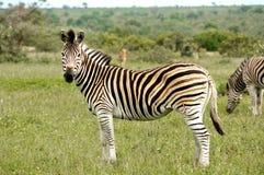 Zebra do parque de Kruger Imagens de Stock