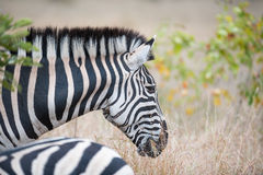 Zebra do ` s de Burchell Fotografia de Stock