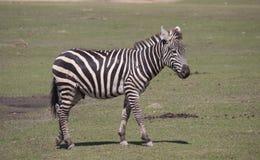 Zebra do ` s de Grant Imagens de Stock Royalty Free